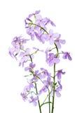 开花的Hesperes夜紫罗兰分支在干净的白色后面的 免版税库存图片