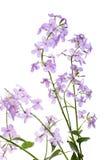 开花的Hesperes夜紫罗兰色丁香分支在干净的 免版税库存照片
