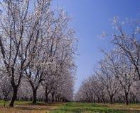 开花的LeGrand默塞德县加利福尼亚杏仁果树园 免版税库存图片