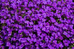 开花的lilacbush 免版税图库摄影