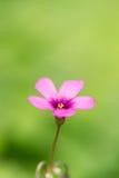 开花的Oxalis紧密 免版税库存照片