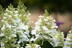 开花的Panicled八仙花属美丽的庭院  库存图片