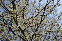 开花的pulm树 免版税库存照片
