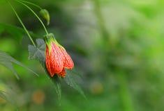 开花的Redvein白麻白麻pictum或印度冬葵 免版税库存照片
