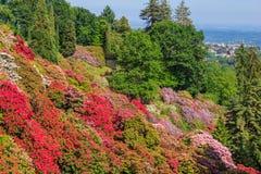开花的rhodondendros谷在Burcina公园的自然保护的在波洛内/比耶拉/山麓/意大利 库存照片