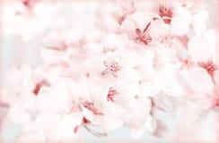 开花的sacura或樱桃树在蓝天 库存照片