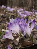 开花的saffrons 免版税库存照片