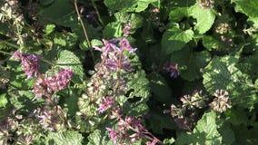 开花的Salvia officinalis在庭院里 共同的贤哲植物、芳香草本和香料 Salvia verticillata 股票录像