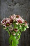 开花的sempervivum calcareum开花,母鸡和小鸡植物 免版税库存照片