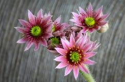 开花的sempervivum calcareum开花,母鸡和小鸡植物 免版税库存图片