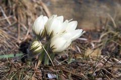 开花的snowdrops在森林 免版税库存图片