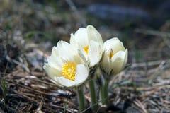 开花的snowdrops在森林 库存图片