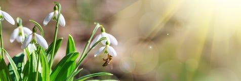 开花的snowdrops Galanthus nivalis和他们授粉的蜂蜜蜂在早期的春天在森林里 库存图片
