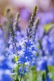 开花的Speedwell Veronica多年生草本植物特写镜头 免版税库存照片