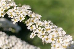 开花的spirea分支 库存图片