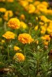 开花的Tagetes 库存图片