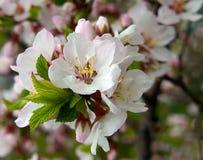 开花石头城的樱桃 免版税库存照片