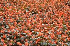 开花秋海棠 秋海棠是非常的美花  免版税库存照片