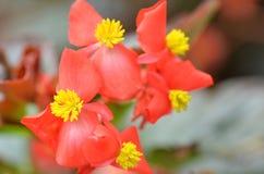 开花秋海棠 秋海棠是非常的美花  库存照片