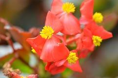 开花秋海棠 秋海棠是非常的美花  库存图片