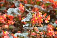 开花秋海棠 秋海棠是非常的美花  免版税库存图片