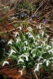开花空白森林的snowdrops 库存图片
