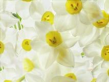 开花空白的水仙 库存图片