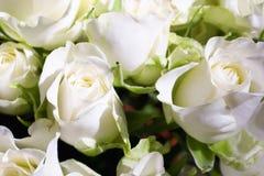 开花空白的玫瑰 免版税库存图片