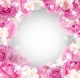 开花空白的玫瑰 库存照片