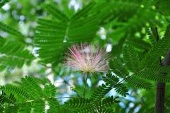 开花粉扑结构树 图库摄影
