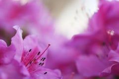 开花粉红色 库存图片