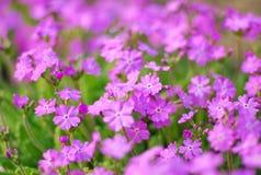开花紫红色 库存照片