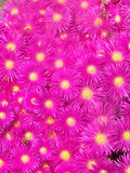 开花紫红色 免版税库存照片