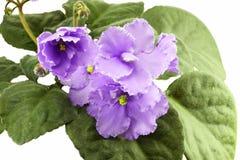 开花紫罗兰色,名门出身 图库摄影