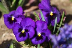 开花紫罗兰 蓝色紫罗兰色紫罗兰在一个草甸的春天绿草的本质上 蝴蝶下落花卉花重点模式黄色 春天和夏天花 库存照片