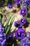 开花紫罗兰 蓝色紫罗兰色紫罗兰在一个草甸的春天绿草的本质上 蝴蝶下落花卉花重点模式黄色 春天和夏天花 免版税库存图片