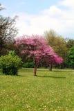 开花紫色唯一结构树 图库摄影