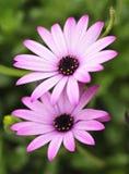 开花紫色白色 免版税图库摄影