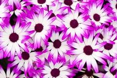开花紫色白色 图库摄影