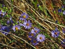 开花紫色的翠菊水平地生长& 免版税库存照片