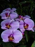 开花紫色 开花的兰花分支  免版税库存图片