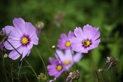 开花紫色 免版税图库摄影