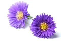 开花紫色 免版税库存图片