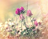 开花红三叶草在草甸 库存图片