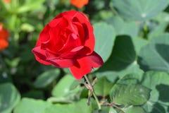 开花红色上升了 库存图片