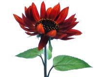 开花红色向日葵 免版税图库摄影