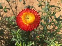 开花红色和黄色大丁草在庭院里 免版税库存图片