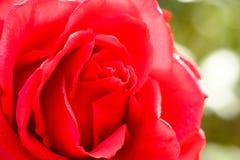 开花红色玫瑰在庭院里 免版税库存照片