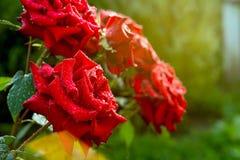 开花红色玫瑰在露水下落的一个晴朗的早晨  免版税图库摄影