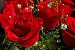 开花红色玫瑰 免版税库存照片